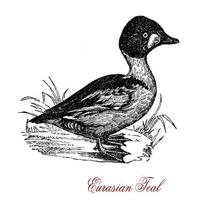 Vintage portrait of common teal, Eurasian duck and gregarious bird which migrates south in winter Stock Photo