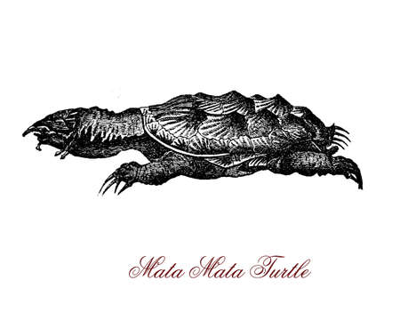 Vintage portrait of mata mata turtle,freshwater brown and black turtle of South America great water basins with spiky and ridged scales and a horn on its snout to breathe in water Stock Photo