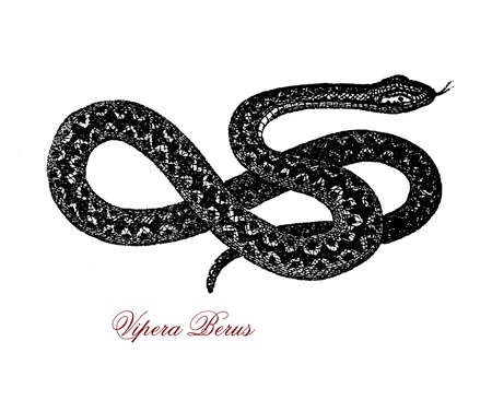 Vintage portrait of vipera berus, venomous snake spread widely from to East Asia Wester Europe , it is not very aggressive and bites when disturbed,  bite can be very painful but seldom fatal.