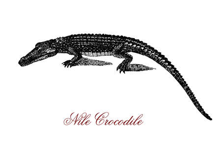Engraving portrait of Nile crocodile, the largest freshwater predator of Africa, very aggressive and social with a hierarchy determined by size. Stock Photo