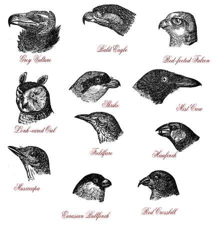 Portraits of different wildlife bird heads: vulture, eagle, falcon, owl, shrike, crow, fieldfare, hawfinch, muscicapa, bullfinch, crossbill, vintage engraving Stock Photo