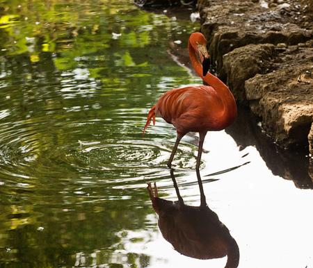 animal wildlife,pink-red flamingo  at the pond
