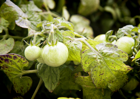 Agriculture, cherry tomatoes growing on plant