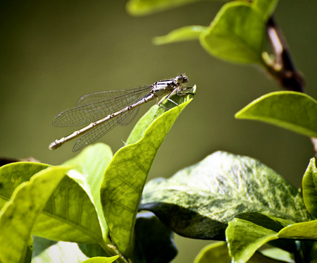 Libellula, delicate dragonfly posed on leaf with ethereal wings, blurred background Stock Photo