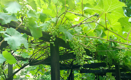 Green vineyard background: pergola with grapes pending from plants