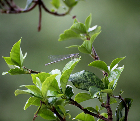 Libellula, dragonfly with aethereal wings, posed on leaf, blurred background