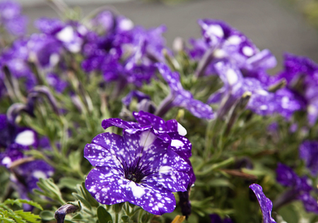 Flowerbed of starry night petunias in garden, beautiful white on purple color, blurred background Stock Photo
