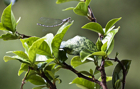 Libellula, dragonfly with delicate wings, posed on leaf, blurred background Stock Photo