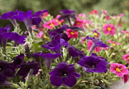 Purple and pink petunias on flowerbed in garden, blurred background