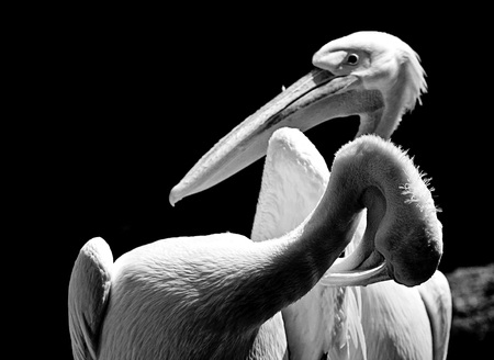 Animal wildlife, two white pelicans portrait, one  preening and the other standing nearby.