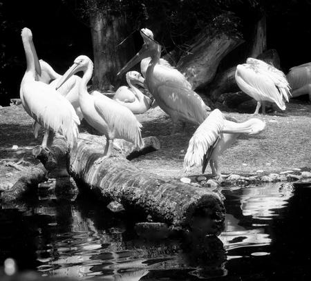 Animal wildlife, white pelican colony near a pond. Stock Photo