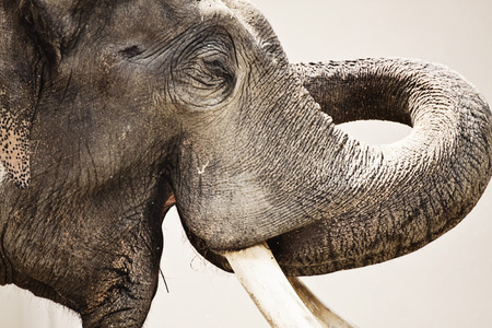 Animal wildlife, Asian elephant portrait, close up Stock Photo