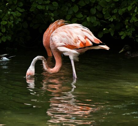 Animal wildlife, pink flamingo drinking water in a pond
