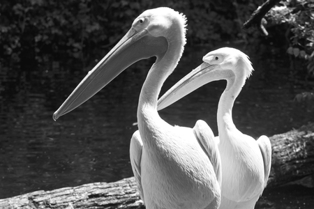 Animal wildlife, two white pelicans portrait  standing nearby. Stock Photo