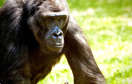 Animal wildlife, gorilla thoughtful  portrait Stock Photo