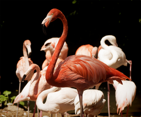 Animal wildlife,flamingo portrait:  pink-red flamingo standing out from other birds in background. Stock Photo
