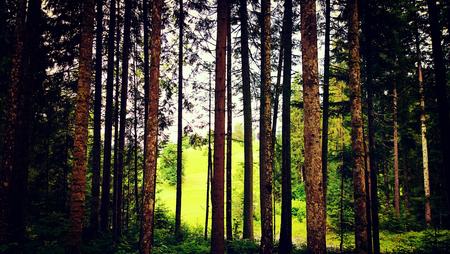 bos open plek tussen dennenbomen, Oostenrijkse bossen