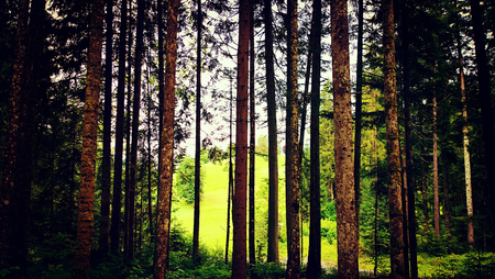 forest glade among pine trees, Austrian woodland Stock Photo