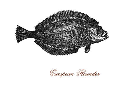 vintage engraving of European flounder, flatfish of European coastal waters caught and used as food. It has an oval shaped body flattened laterally and swims and rests on one side.