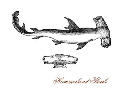 vintage engraving of hammerhead shark with the flattened head laterally extended into a hammer shape, the head could have so evolved to enhance its vision and is also used as weapon when hunting. It is a fish of warm waters and swims in schools