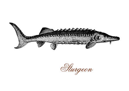 vintage engraving of sturgeon,primitive fish inhabitant of subtropical, temperate and sub-Arctic rivers, lakes and coastlines with a caudal fin shark-like. It is well known for the roe processed as caviar, luxury food.