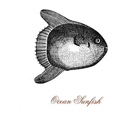vintage engraving of ocean sunfish or common mola, bony fish native of tropical waters.It resembles a fish head with a tail, and its main body is flattened laterally.As food is considered a delicacy.