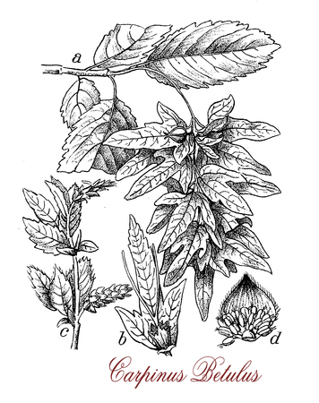 Vintage engraving of Hornbeam or Carpinus betulus, deciduous tree which grows up to 600 mt. (1,969 ft) of elevation.The bark is smooth and greenish with long corrugated leaves and catkins. Cultivated in landscape gardening
