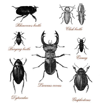 Vintage illustration table  with different kind of beetles