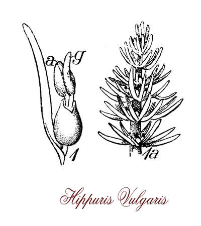 vintage engraving of hippuris vulgaris,aquatic plant of shallow waters or mud, used in herbal medicine for healing wounds