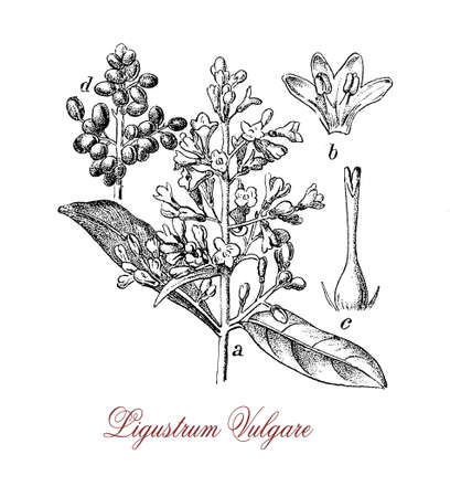 vintage engraving of ligustrum vulgare or wild privet, shrub with white creamy flowers and poisonous black berries, common in South Europe.