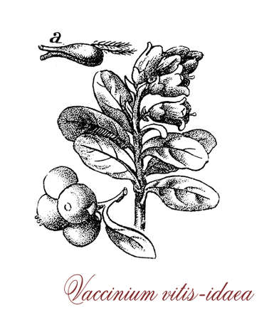 vintage engraving of vaccinium vitis idaea or lingonberry, evergreen shrub growing at low temperature (artic) with red edible berries
