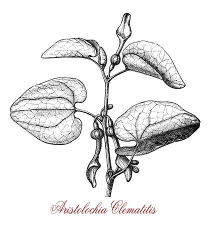 vintage engraving of aristolochia clematitis or European birthwort, twining plant with hear-shaped leaves and pale yellow tubular flowers, poisonous. Stock Photo