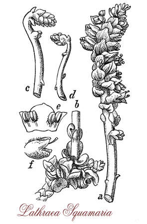 vintage engraving of  lathraea squamaria or common toothwort, parasitic plant with scales instead of leaves and pink inflorescence Stock Photo