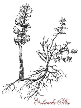 vintage engraving of orobanche alba or Thyme broomrape, parasitic plant with stems completely lacking chlorophyll, with yellow or white snapdragon-like flowers Stock Photo