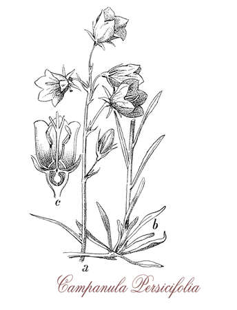 vintage engraving of campanula persicifolia or peach-leaved bellflower, flowering plant common in the Alps, with blue-lilac cup-shaped flowers