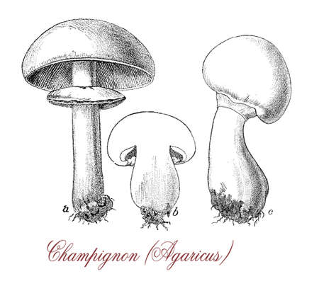 Vintage engraving of agaricus champignon  with white cap and white flesh, widely eaten and cultivated Stock Photo