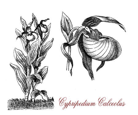 Vintage engraving of cypripedium calceolus or ladys-slipper, orchid plant with beautiful yellow flowers, endangered species Stock Photo