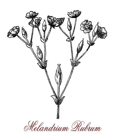 vintage engraving of Silene dioica or red campion, flowering plant native of Europe,with small dark pink flowers, used for ornamental borders in landscaping Stock Photo