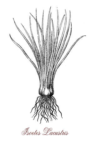 Vintage engraving of isoetes lacustris or lake quillwort, aquatic plant of ponds with short stem and long narrow leaves and roots growing together Stock Photo