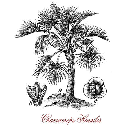 Vintage engraving of chamaerops or European fan palm, ornamental palm native to Southern Europe used in landscaping in temperate climate Stock Photo
