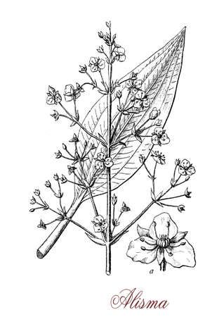 Vintage engraving of alisma, aquatic plant of still waters with white or pink inflorescences and floating or submerged leaves.