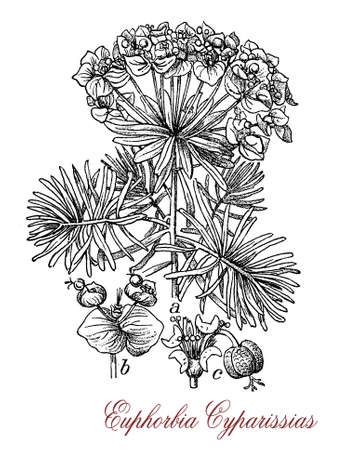 vintage engraving of euphorbia cyparissias or cypress spurge,  toxic ornamental plant native to Europe with green-yellow bracts. Stock Photo