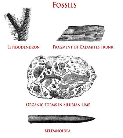 vintage illustration of fossils:  lepidodendron, calamites, organic forms in Silurian lime and belemnoidea