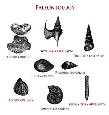 vintage paleontology  illustration of fossilized shells: exogyra couloni and columba, rotellaria parkinsoni,turrilites catenatus, unio valdensis, paludina fluviorum,ammonites varians and belemnitella mucronata. Stock Photo