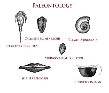 vintage paleontology  illustration of fossilized shells: pterichtys cornutus, calymene blumenbachii, clymenia undulata,stringocephalus burtini, spirifer speciosus  and chonetes dalman Stock Photo