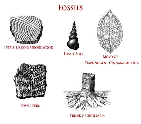 vintage illustration of fossils: petrified coniferous wood, shell, fern,sigillaria and daphnogene cinnamomifolia