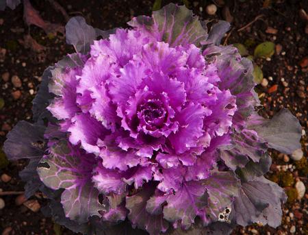 Decorative purple cabbage flower