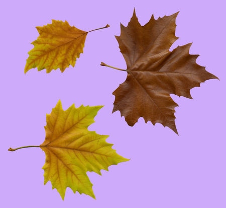 Autumnal fallen maple leaves on purple background