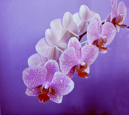 A beautiful bloomy branch of Phalaenopsis orchid on a purple background, soft focus