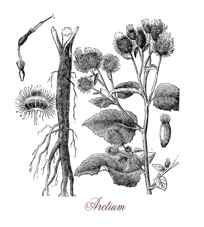 Botanical vintage engraving of burdock or arctium, plant with prickly heads. The flowers produce essential pollen for honeybees, the roots are harvested as vegetable food and for soft drinks. The plant is also used in herbal medicine.